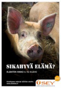 Eläinten viikolla pureudutaan sikojen hyvinvointiin